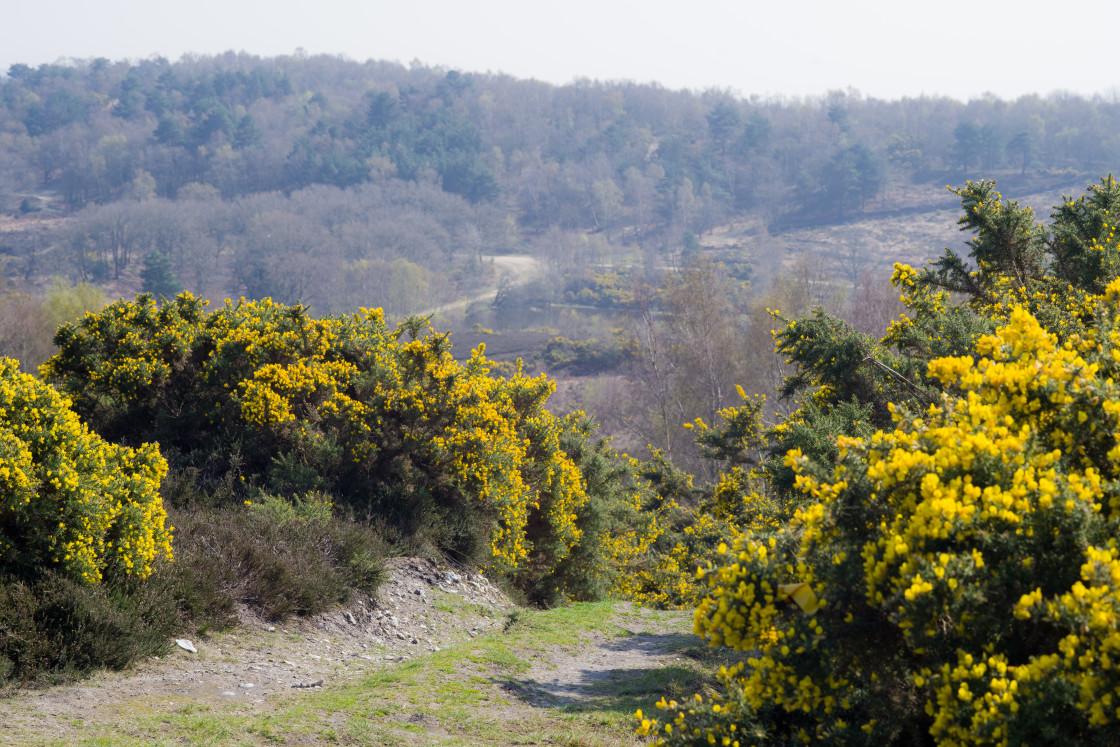 """Yellow Gorse Landscape"" stock image"