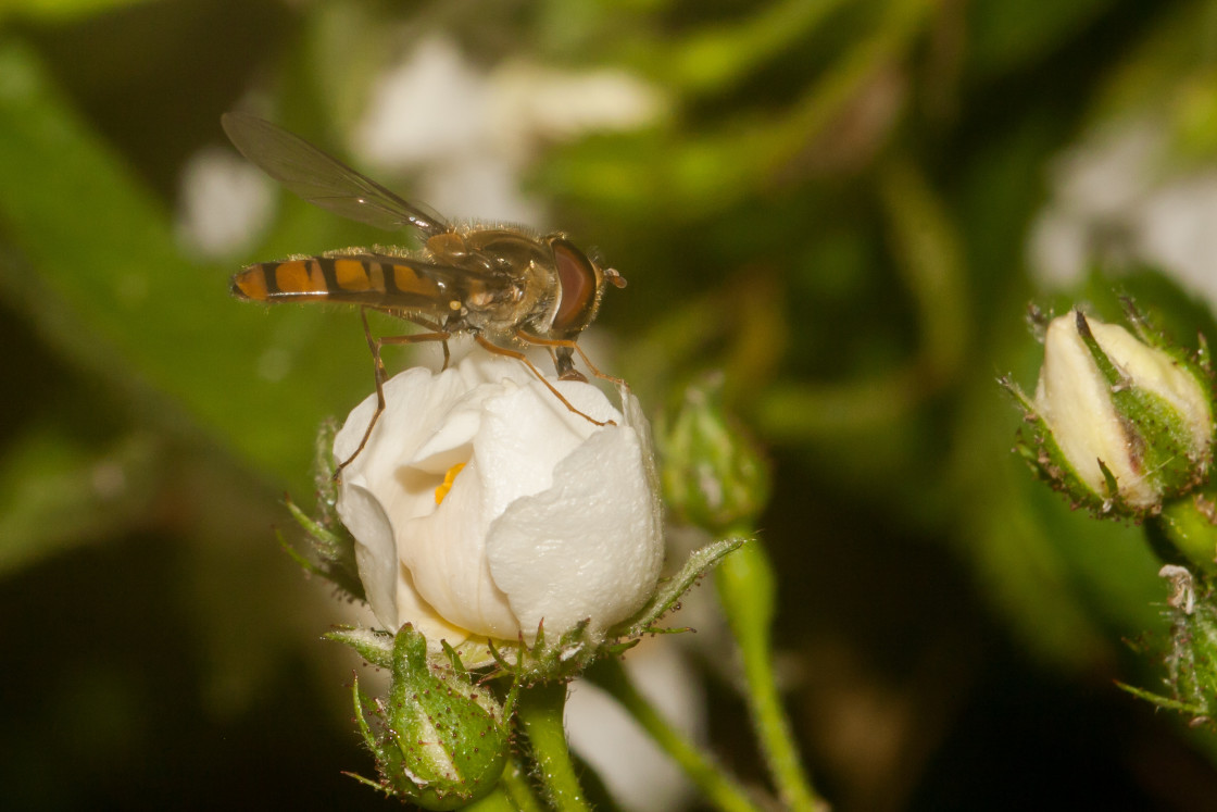 """""""Marmalade hoverfly on rose bud"""" stock image"""