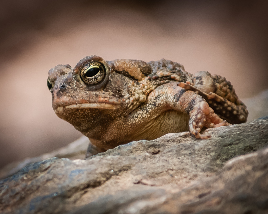 """American Toad (Anaxyrus americanus) Sunning in the Morning Light"" stock image"