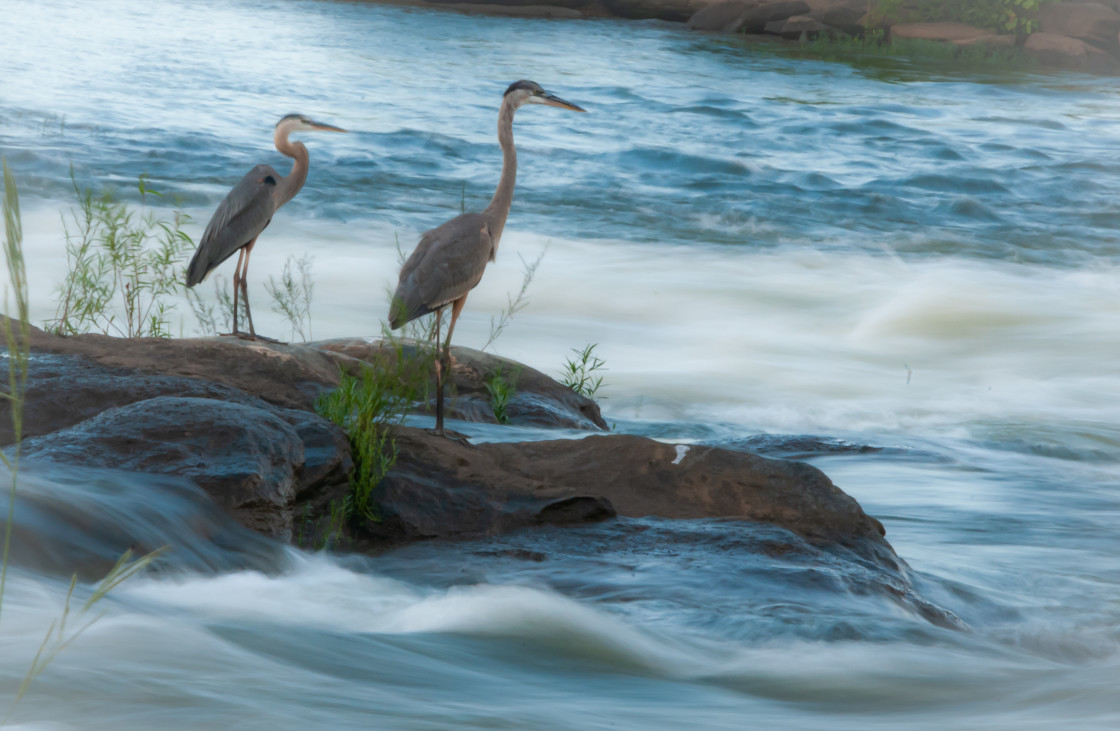 """Great Blue Heron (Ardea herodias) on the Flowing River"" stock image"
