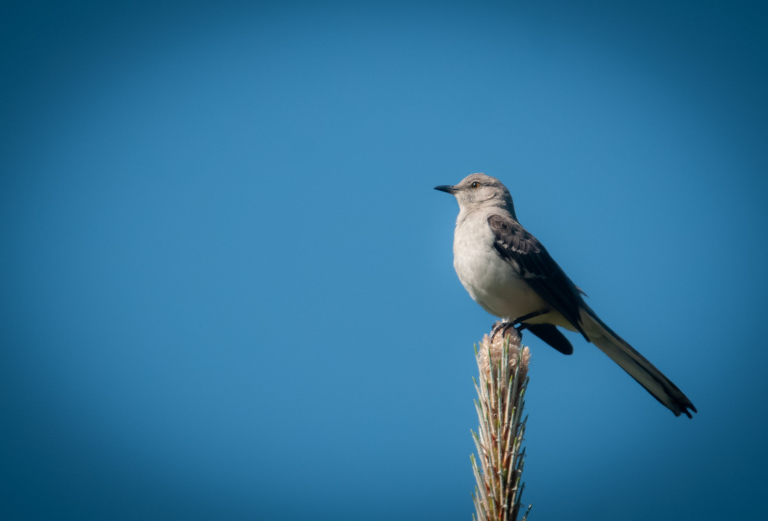 """Northern Mockingbird (Mimus polyglottos)"" stock image"