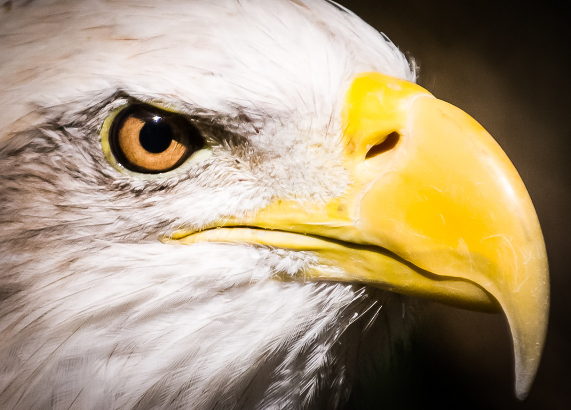 """Bald Eagle Head Shot at Montgomery Zoo"" stock image"
