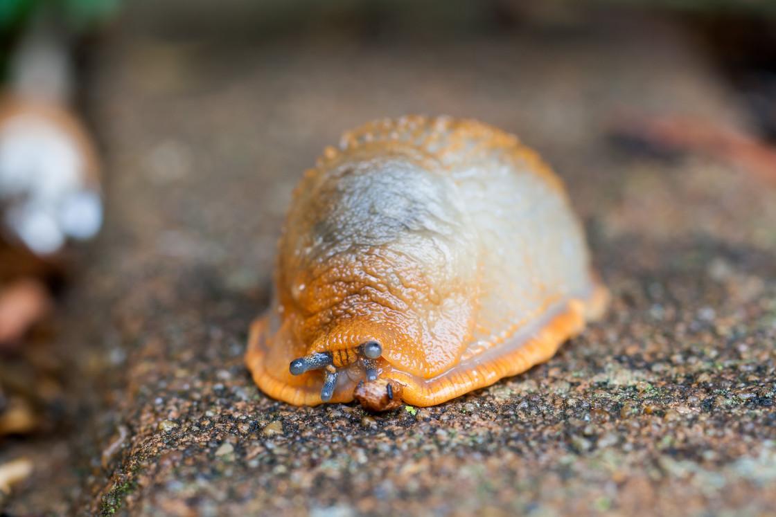 """""""Black Slug"""" stock image"""