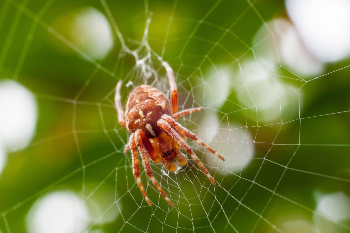 """Garden Spider (Araneus diadematus)"" stock image"