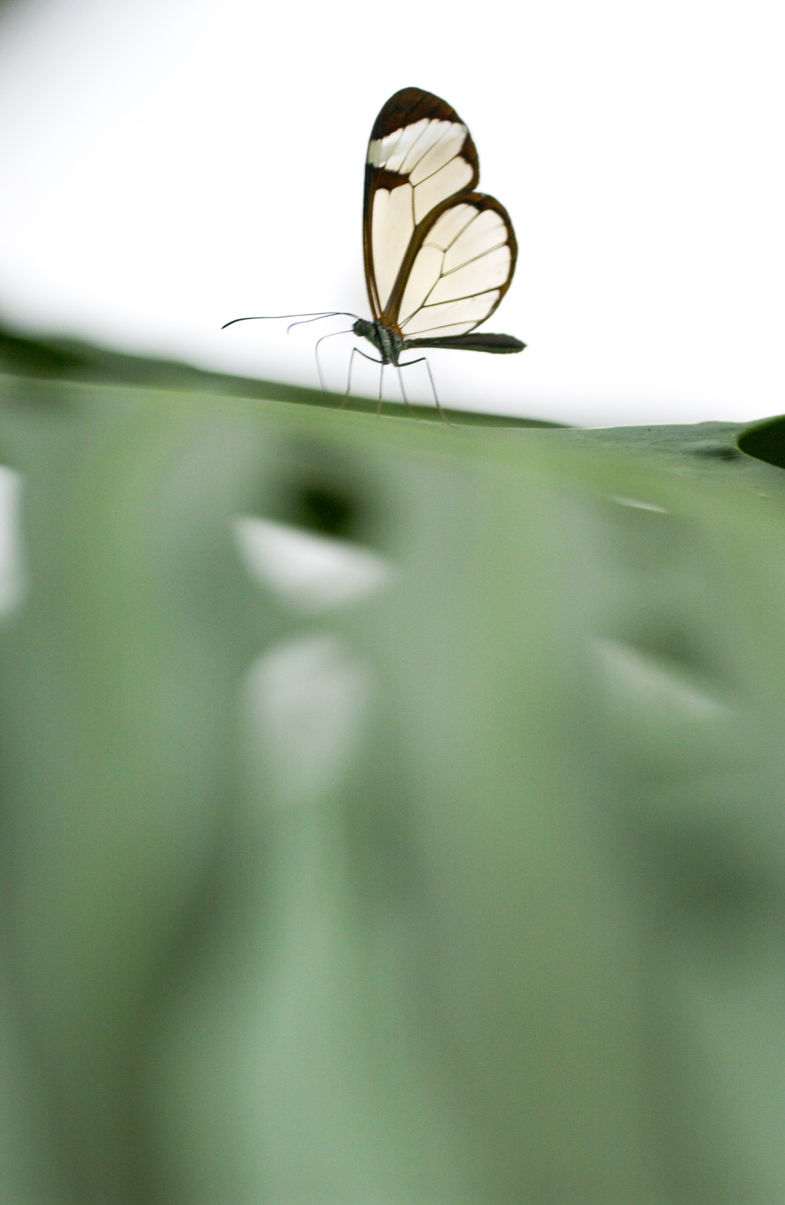 """Glasswing butterfly"" stock image"