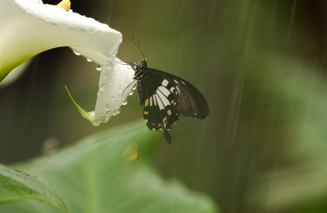 """Swallowtail butterfly on lily"" stock image"