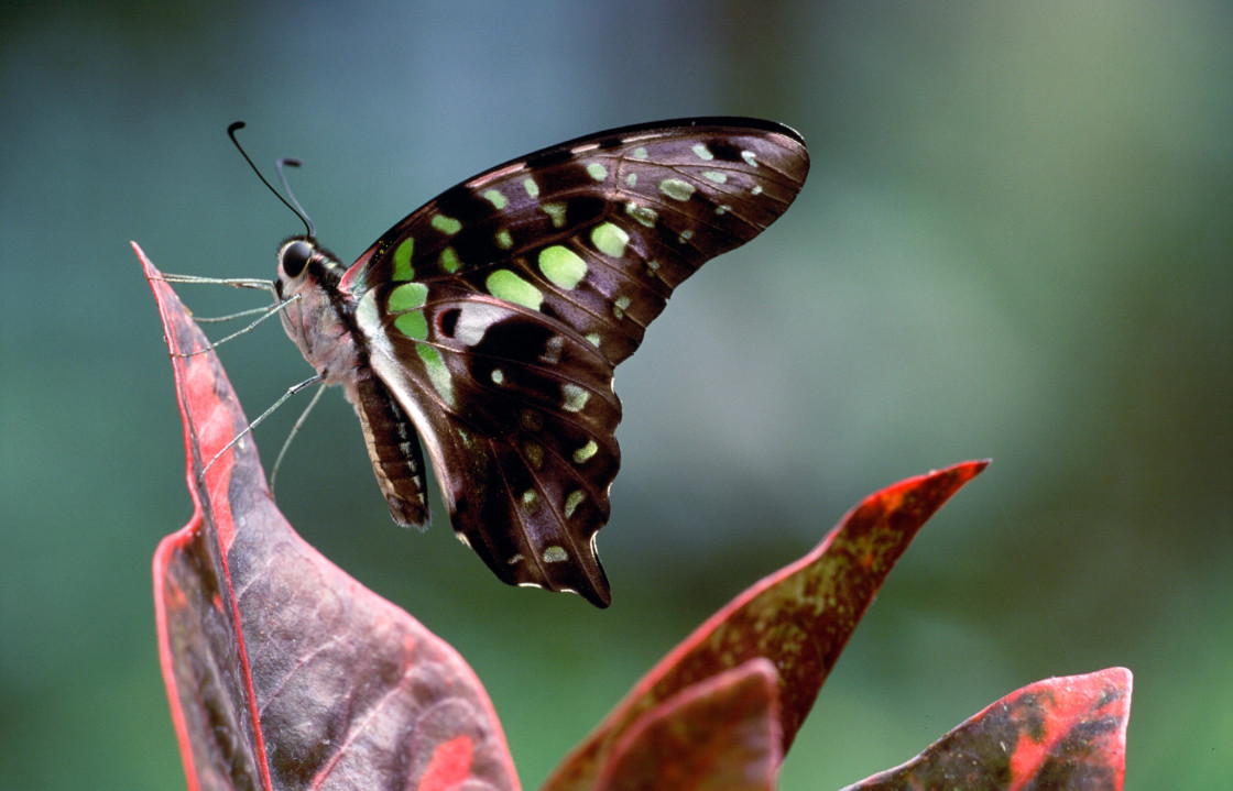 """Tailed jay butterfly"" stock image"
