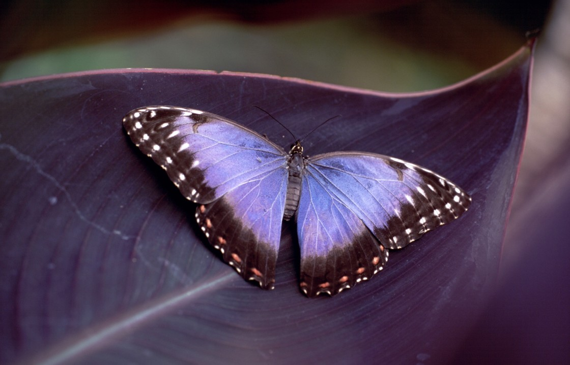 """Morpho butterfly"" stock image"