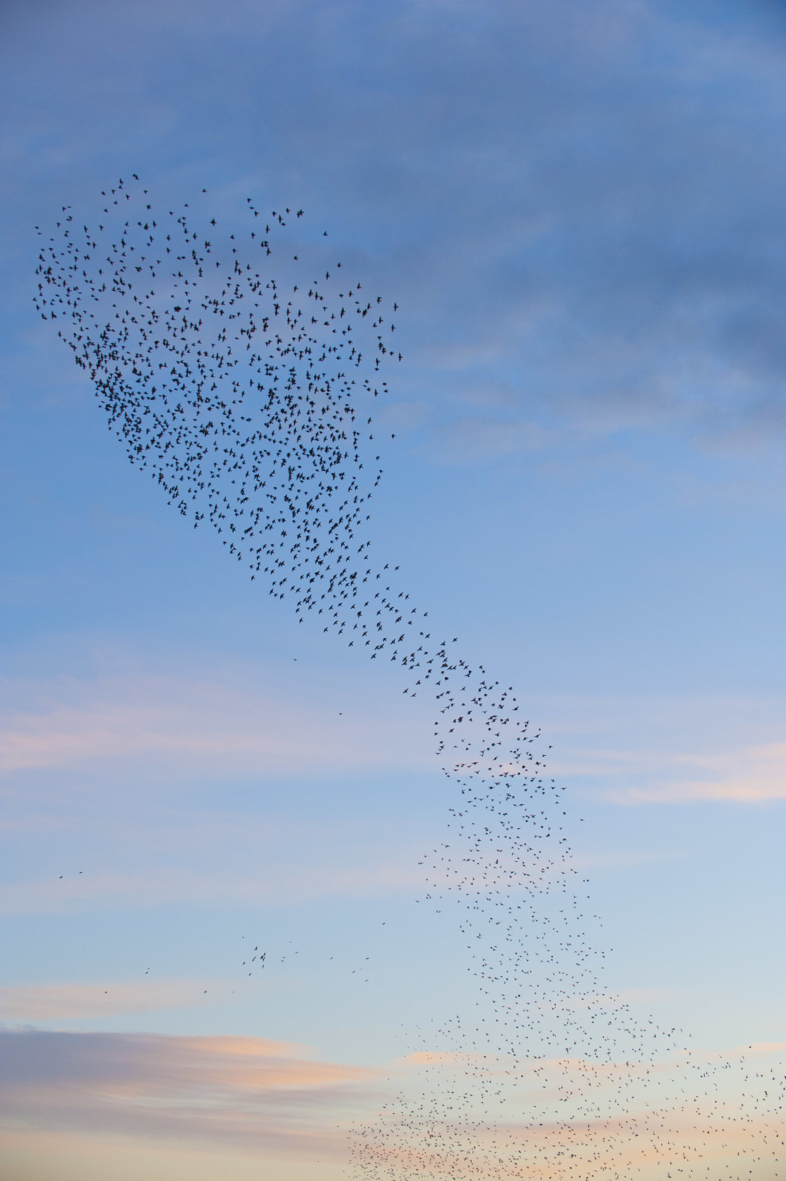 """Unusual starling formation"" stock image"
