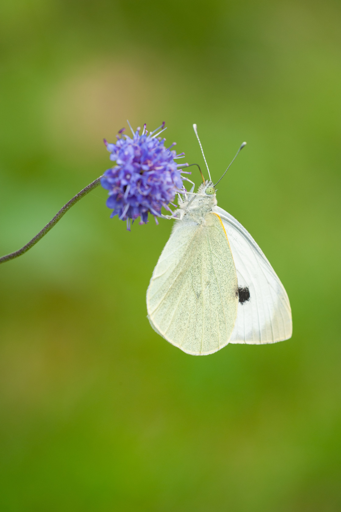 """Small White butterfly on scabious"" stock image"
