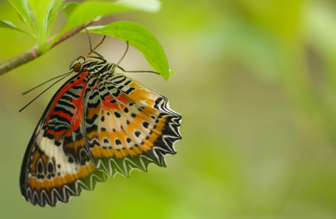 """Leopard Lacewing butterfly"" stock image"
