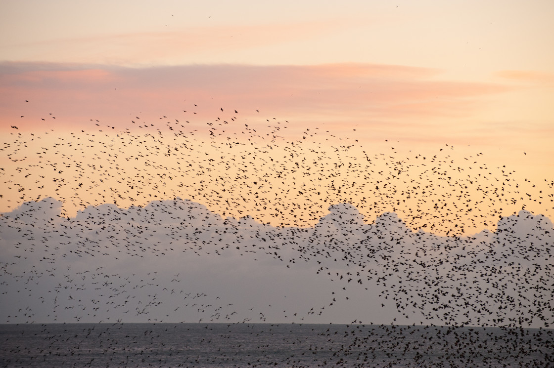 """Wave of starlings"" stock image"