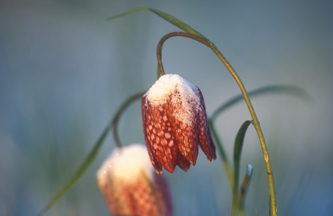 """""""Snake's Head Fritillaries with Frost"""" stock image"""