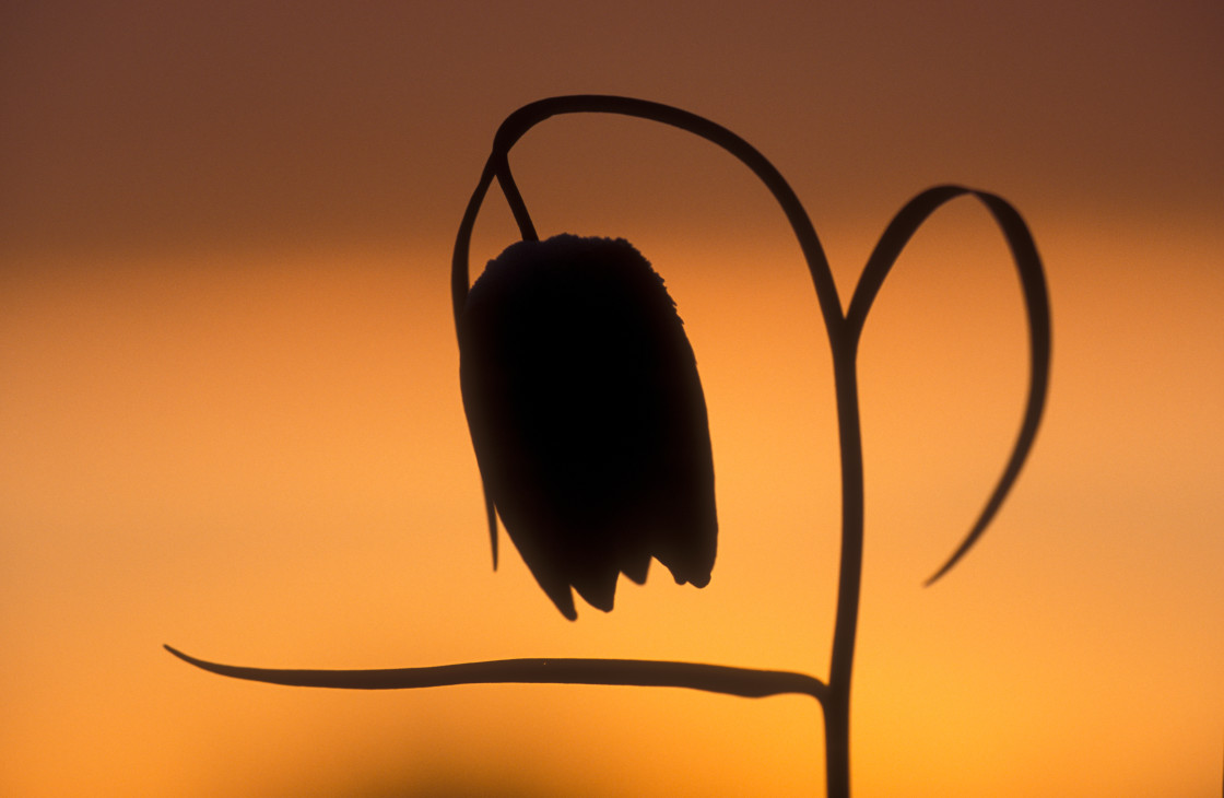 """""""Silhouette of Snake's Head Fritillary"""" stock image"""