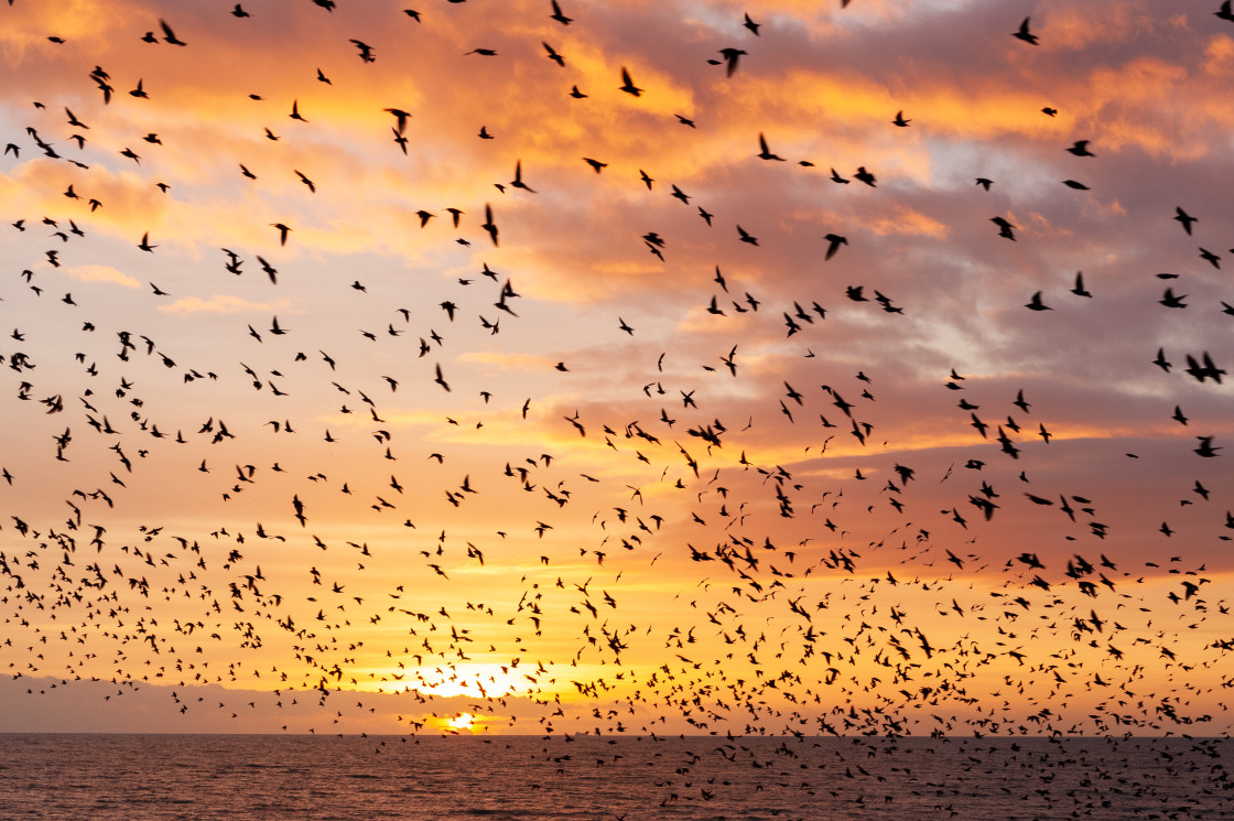 """Cloud of Starlings at Sunset"" stock image"