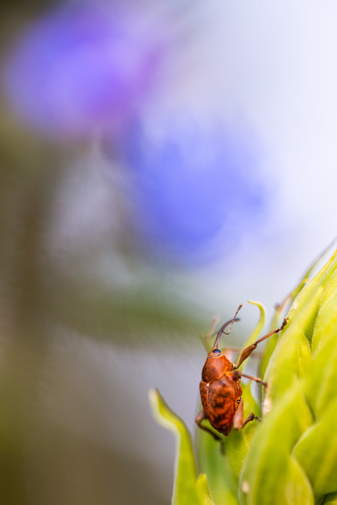 """""""Acorn Weevil with Blue Flower"""" stock image"""