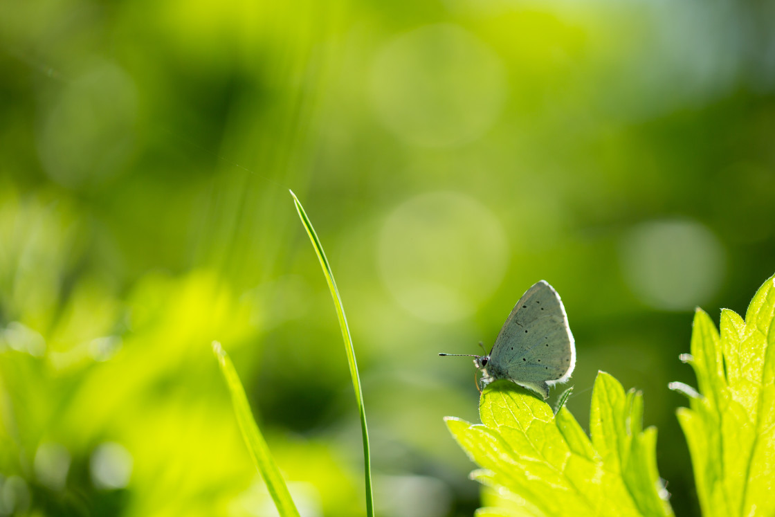 """Small Blue Butterfly"" stock image"