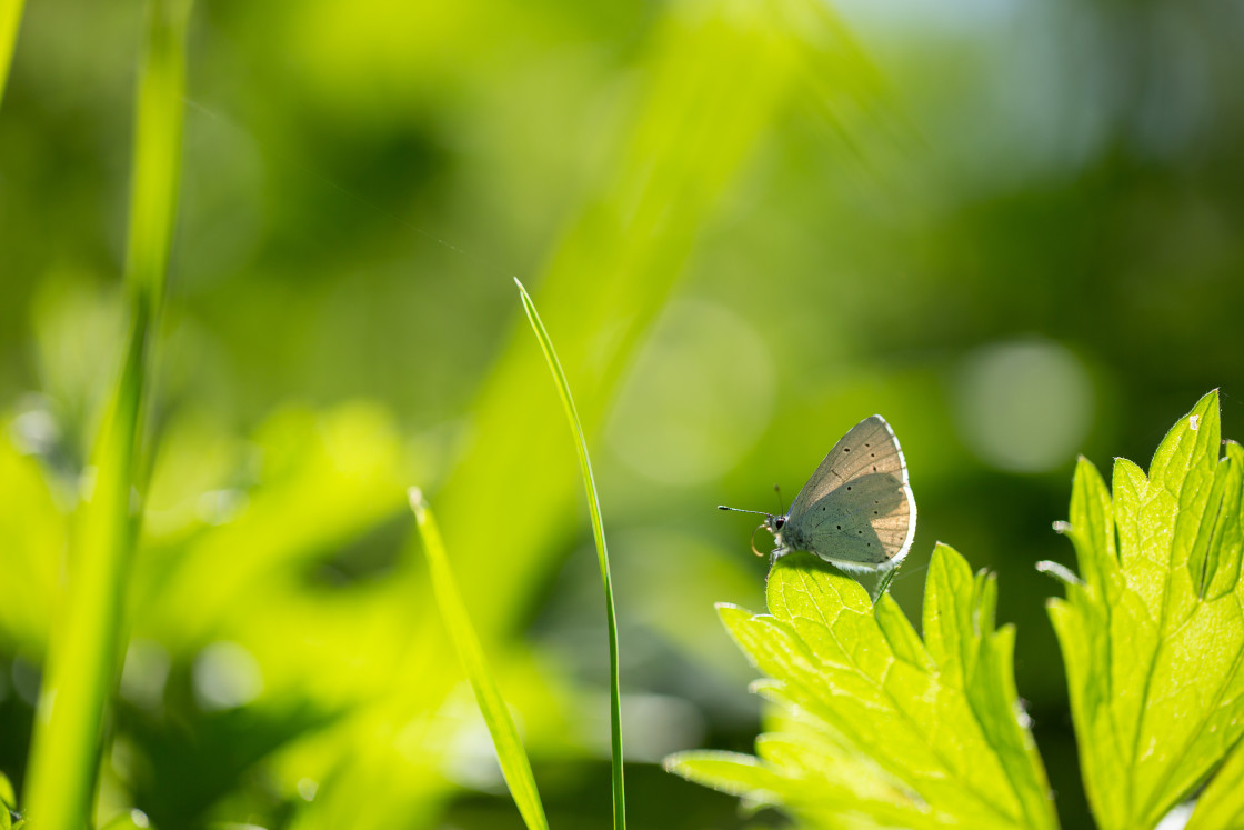 """Small Blue Butterfly, wings open"" stock image"