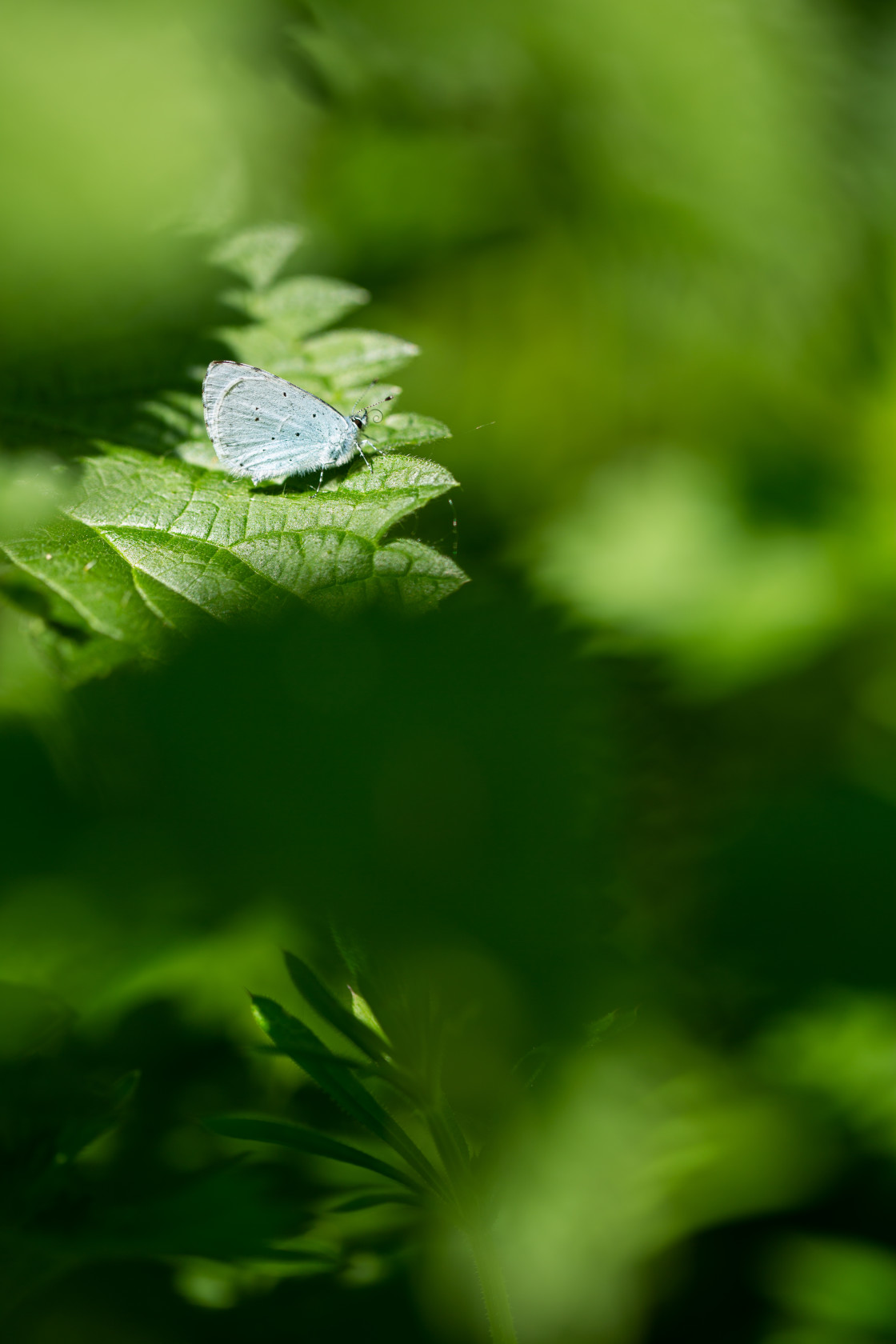 """Small Blue on Nettles, Portrait"" stock image"