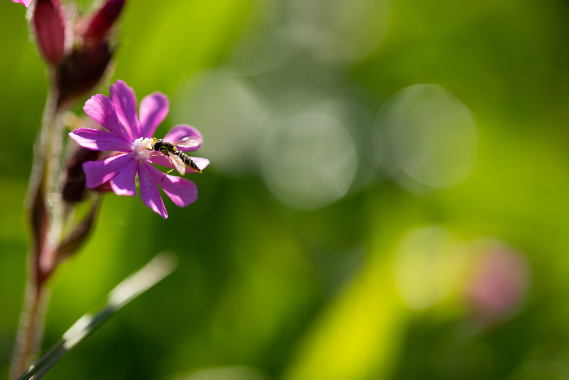 """""""Hoverfly on flower"""" stock image"""