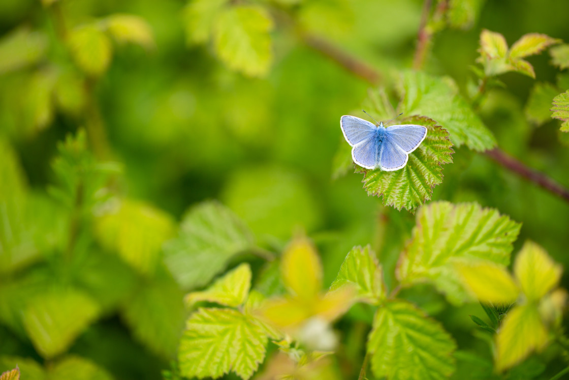 """Common Blue butterfly on brambles"" stock image"