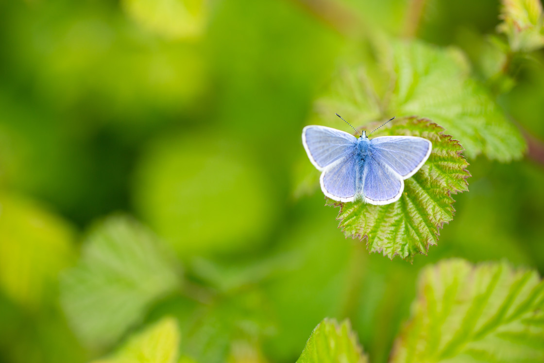 """Common Blue butterfly warming itself"" stock image"