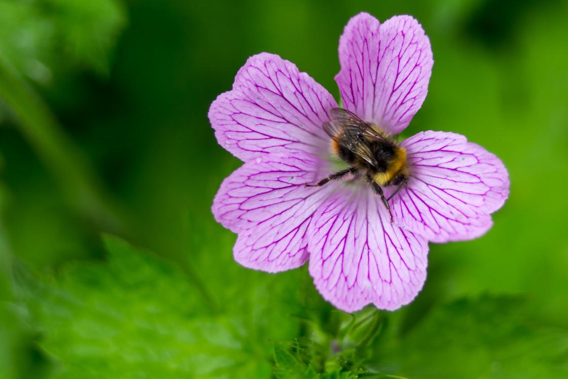 """Bumblebee on Mallow Flower"" stock image"