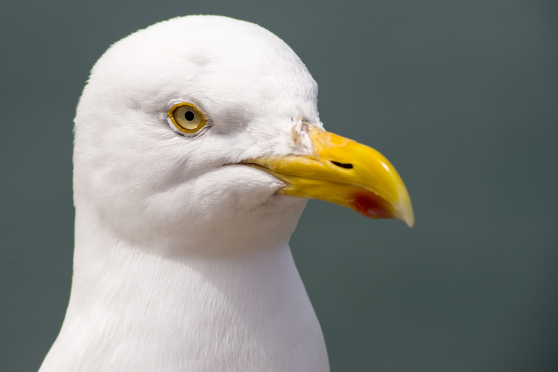 """""""Herring Gull Portrait"""" stock image"""