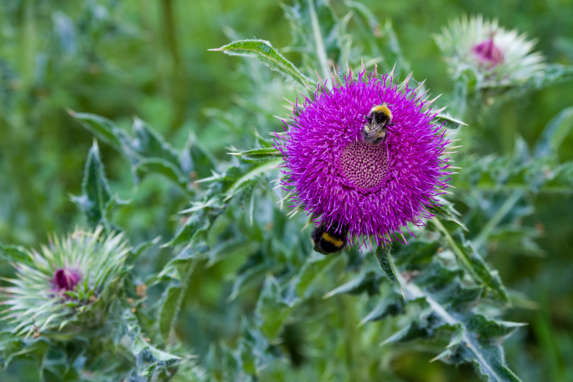 """""""Bumblebees on Thistle Flower"""" stock image"""
