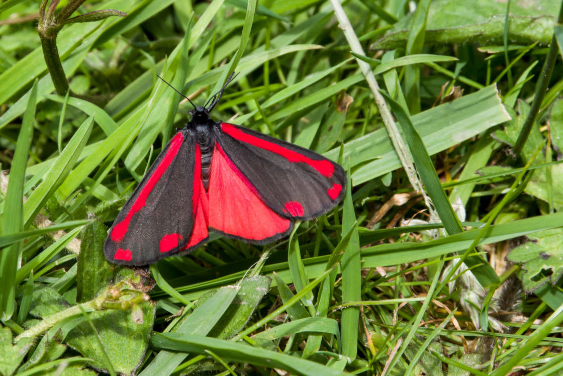 """Cinnabar Moth"" stock image"