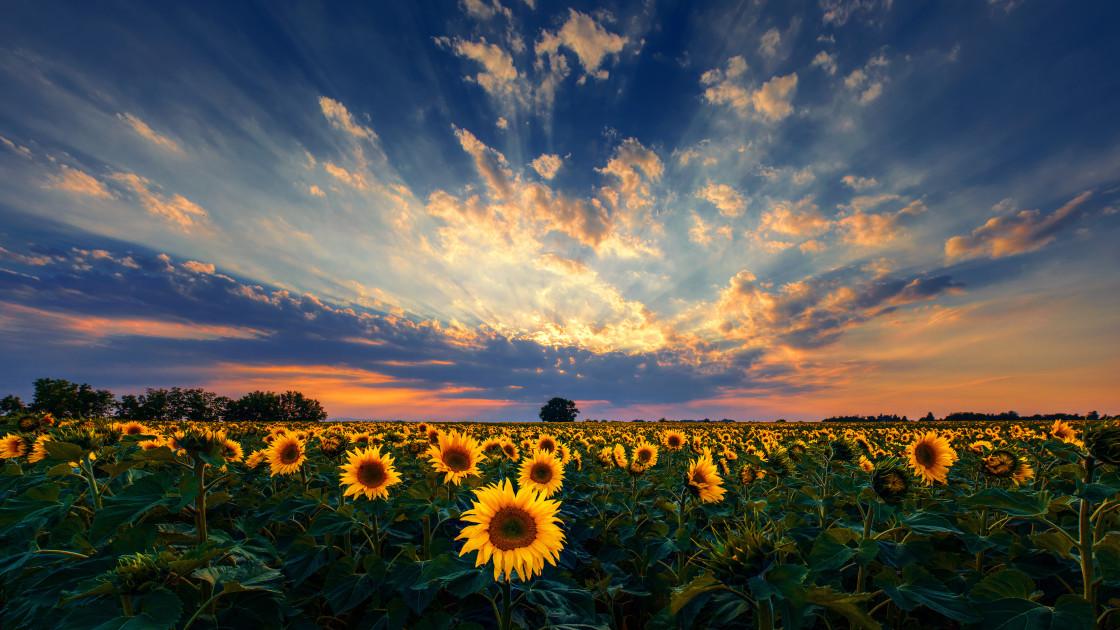 """Sunflower field sunset panorama"" stock image"