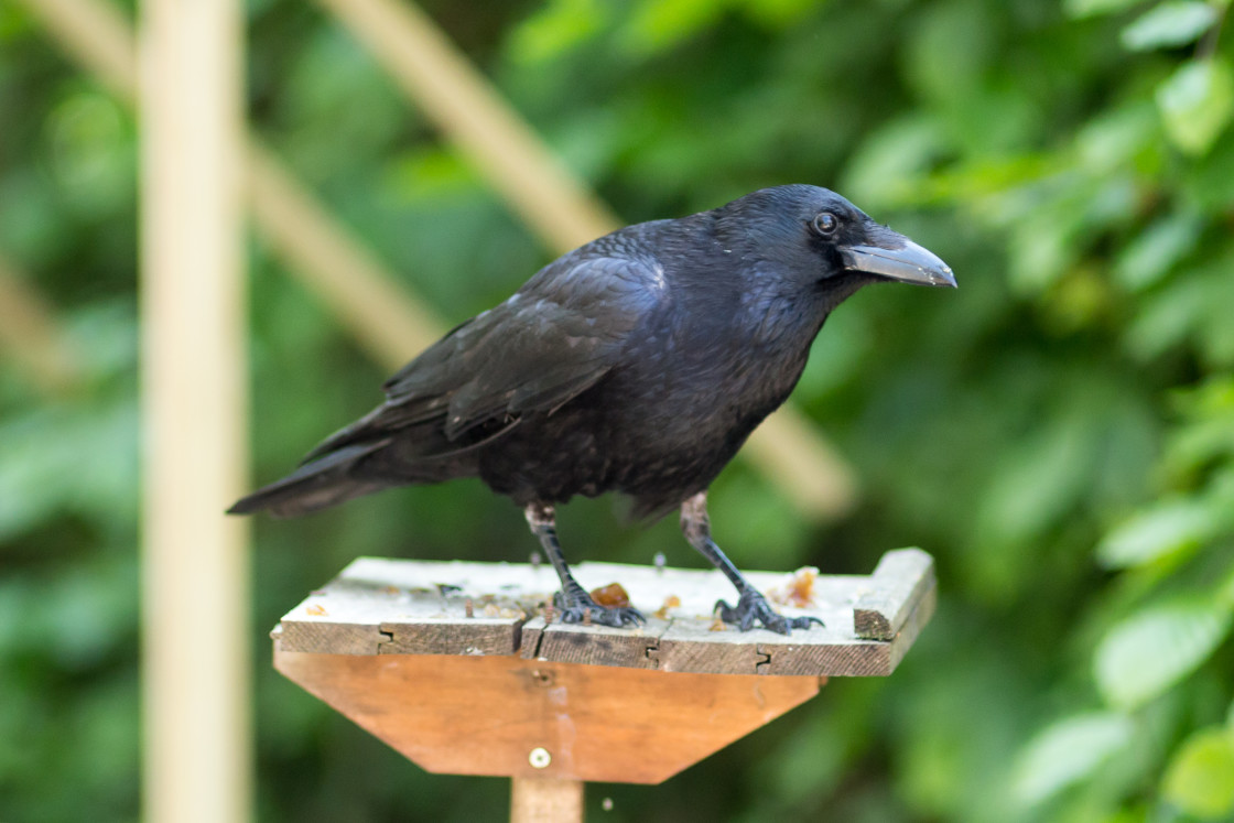 """""""Carrion Crow"""" stock image"""