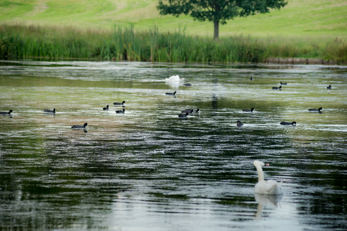 """""""Coots on Tundry Pond"""" stock image"""
