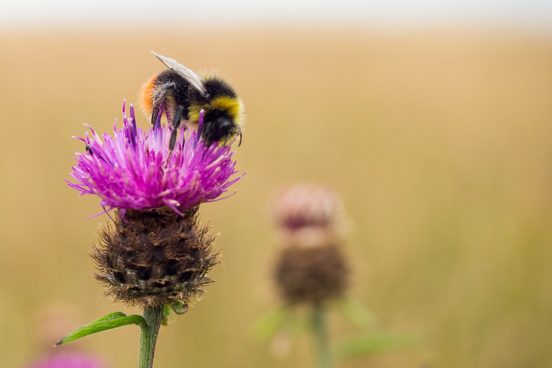 """""""Red-tailed Bumblebee on Knapweed Flower"""" stock image"""
