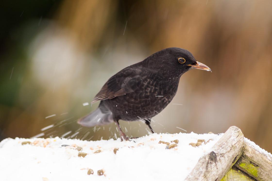 """Blackbird in Snow"" stock image"
