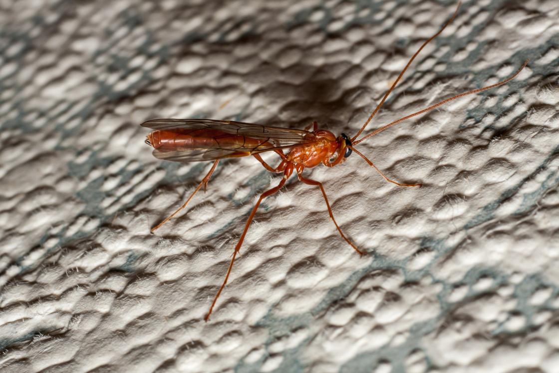 """Short-tailed Ichneumon Wasp"" stock image"