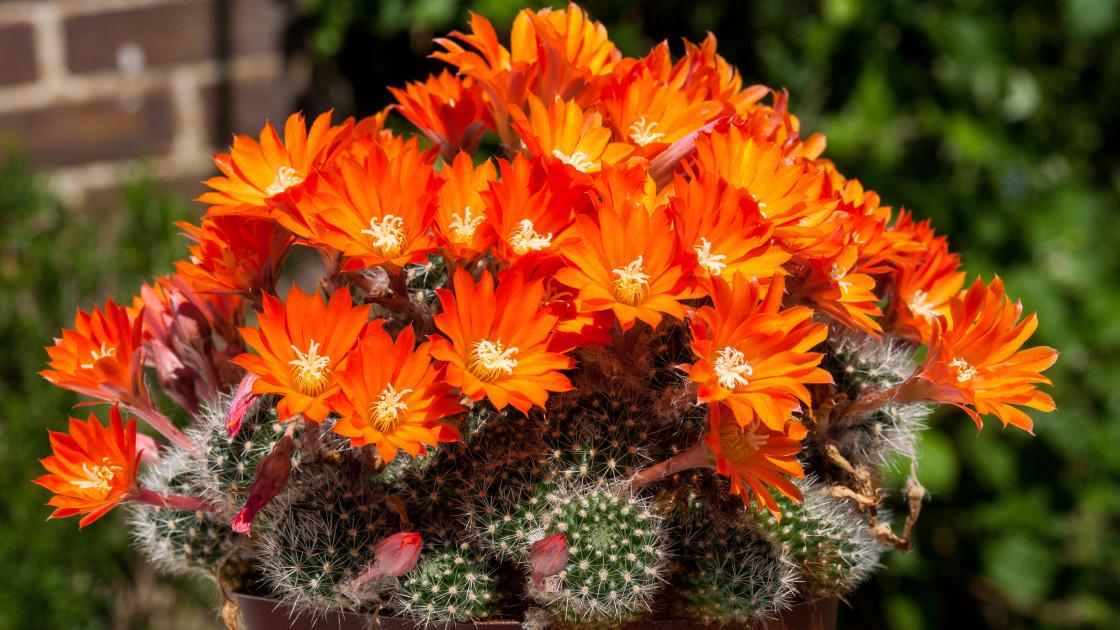"""Rebutia cacti flowers"" stock image"