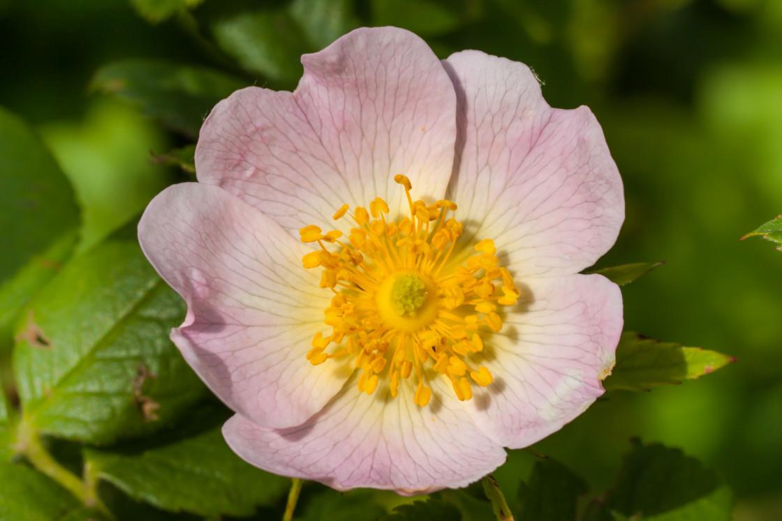 """Dog Rose Flower"" stock image"
