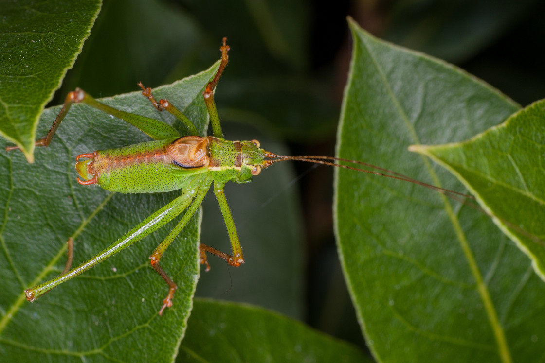 """Speckled Bush-cricket"" stock image"