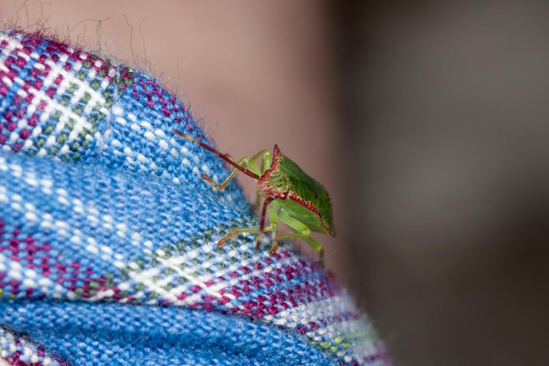 """Hawthorn Shieldbug 5th Instar"" stock image"