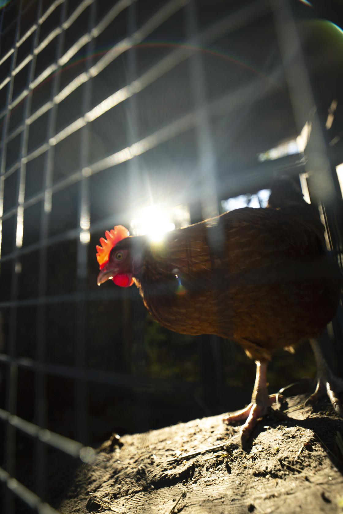 """Chicken"" stock image"