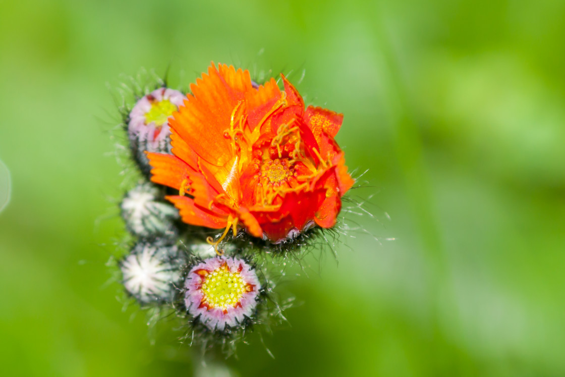 """""""Fox-and-cubs Flowering"""" stock image"""
