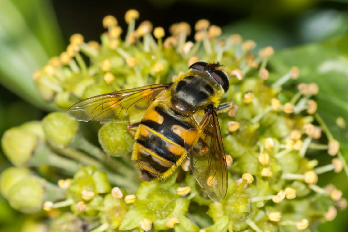 """Myathropa florea Hoverfly"" stock image"