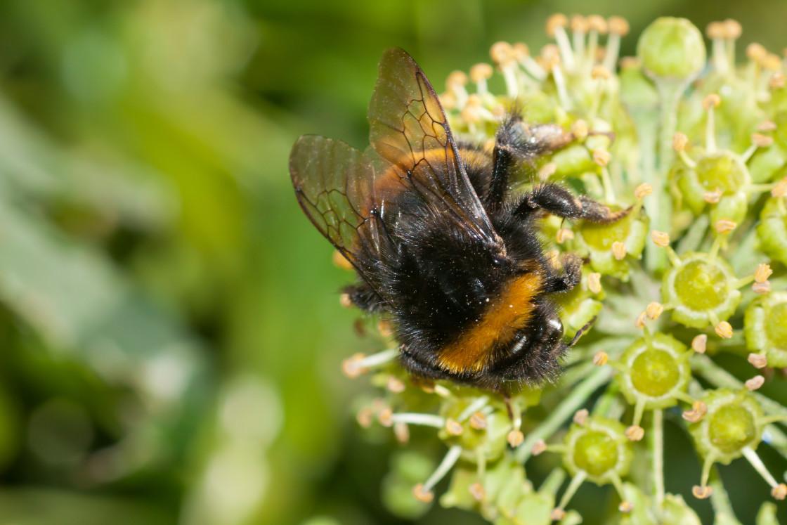 """Bumblebee on Ivy Flower"" stock image"