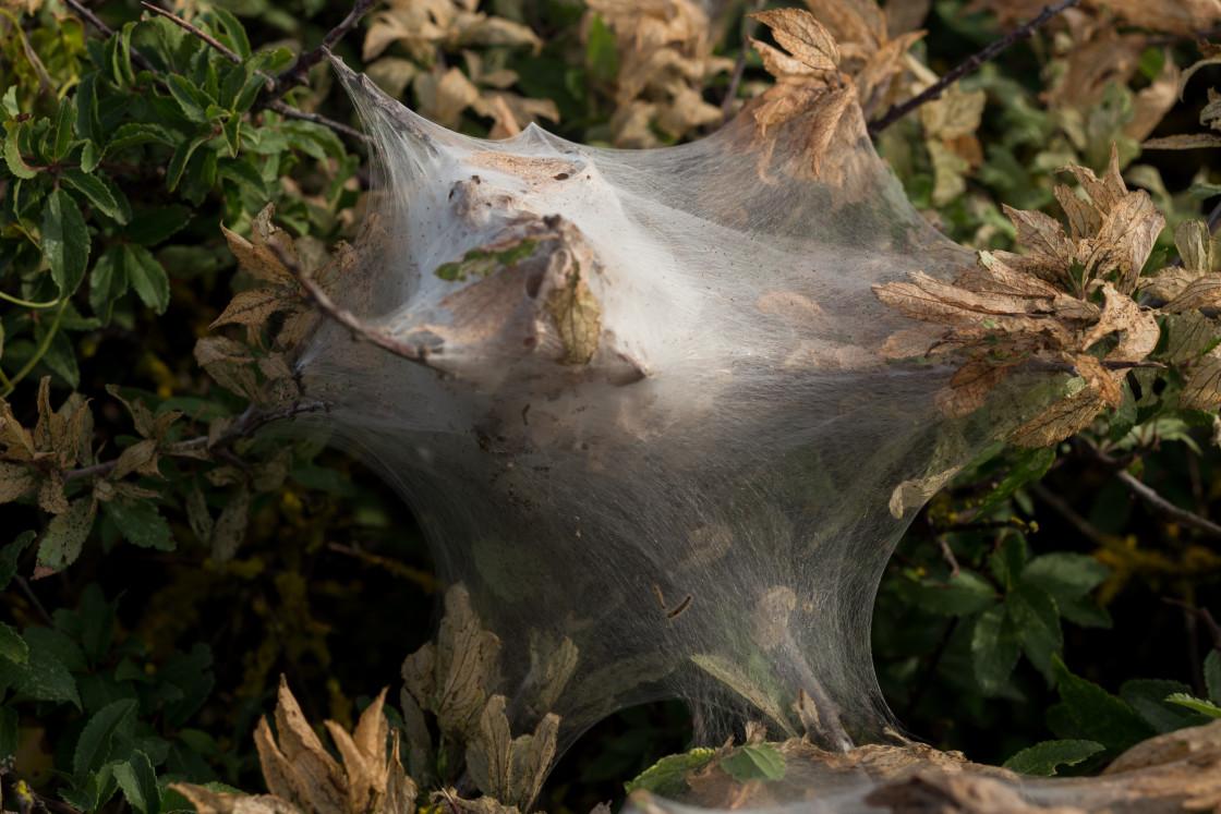 """""""Silken Tent of Brown Tail Moth Larvae"""" stock image"""