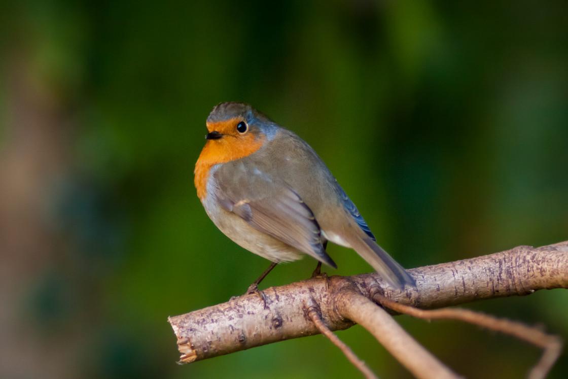 """Robin Redbreast Bird"" stock image"