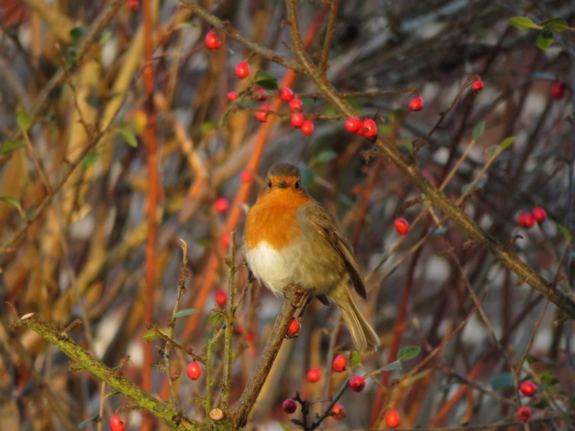 """Robin Amongst the Berries"" stock image"