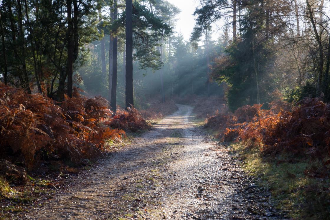 """Winter Woodland Sunlight"" stock image"