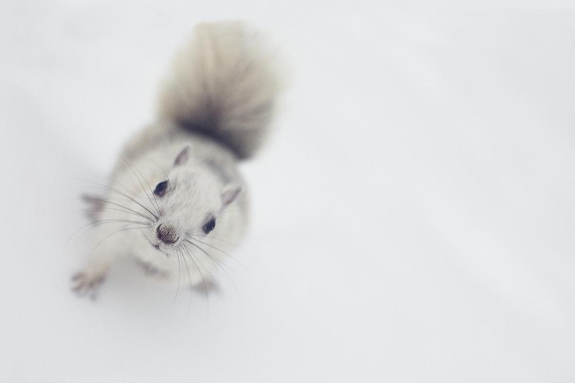 """White squirrel"" stock image"