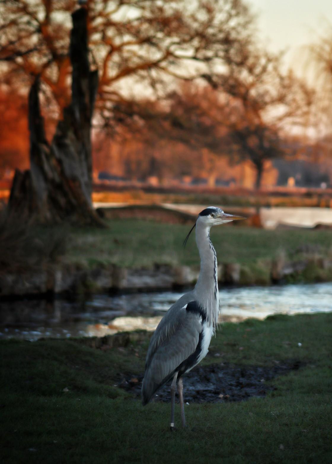 """Heron in the Autumn Dusk"" stock image"
